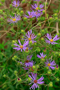 Aster spectabilis- Showy Aster