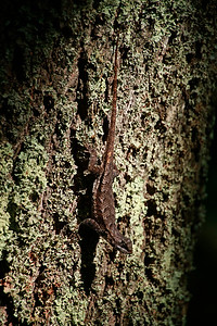 Eastern Fence Lizard
