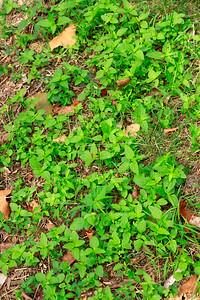 Mowed down Mistflower. :(