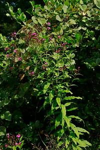 Vernonia noveboracencis- Ironweed