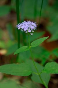Eupatorium coelestinum- Mistflower