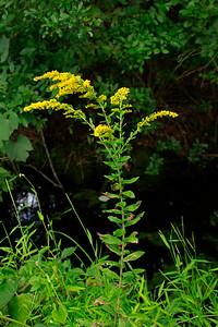 Solidago fistulosa- Pine Barrens Goldenrod