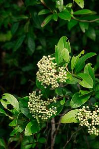 Viburnum nudum- Witherrod Viburnum