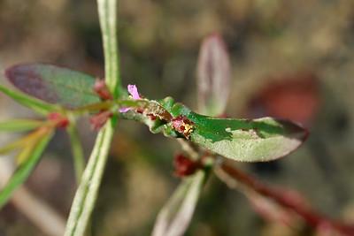 Ammannia coccinea- Scarlet Toothcup