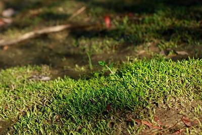 Glossostigma cleistanthum- Mud Mat
