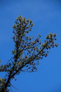 Pinus echinata- Shortleaf Pine