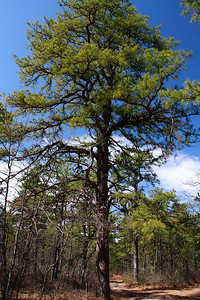 Pinus rigida- Pitch Pine
