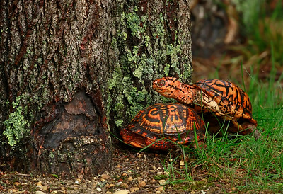 Mating Box Turtles in the yard!