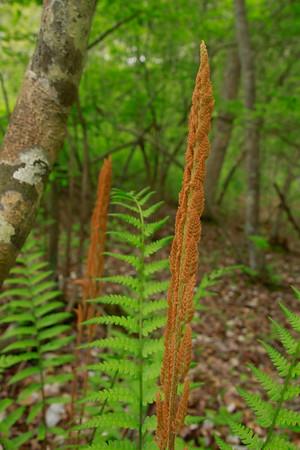 Osmunda cinnamomea- Cinnamon Fern