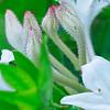 Rhododendron atlanticum- Coast Azalea