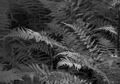 Thelypteris simulata- Massachusetts Fern