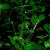 Samolus parviflorus- American Brookweed