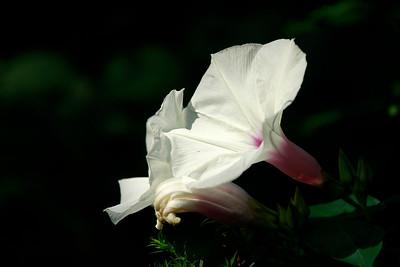 Ipomoea pandurata- Man-of-the-Earth