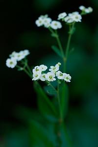 Euphorbia corollata- Flowering Spurge