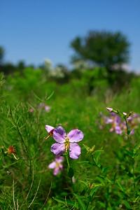 Rhexia ventricosa- Showy Meadow Beauty