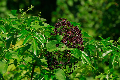 Sambucus nigra ssp. canadensis- Elderberry