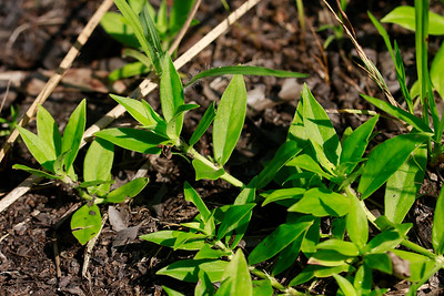Diodia virginiana- Virginia Buttonweed