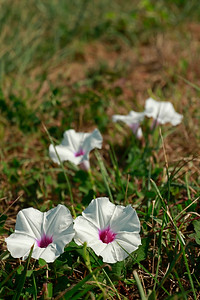 Ipomoea pandurata- Man-of-the-Earth