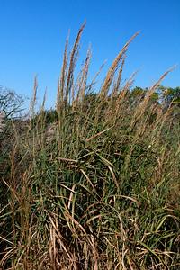 Panicum amarum- Coast Switchgrass