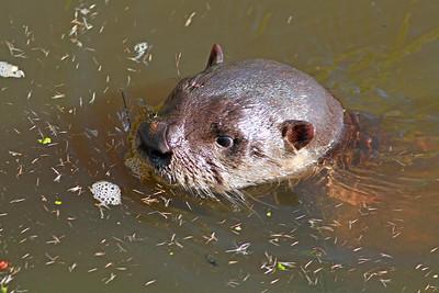 River Otter!