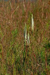 Spiranthes odorata- Fragrant Lady's Tresses