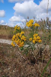 Euthamia graminifolia- Flat-topped Goldentop