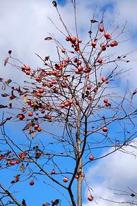 Diospyros virginiana- Persimmon