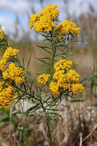 Euthamia caroliniana- Flat-topped Goldentop