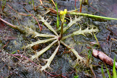 Utricularia inflata- Swollen Bladderwort