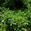Quercus nigra- (Water Oak)