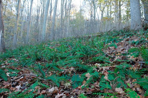 Polystichum acrostichoides- Christmas Fern