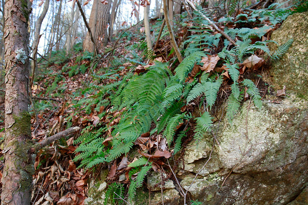 Polypodium appalachianum- Appalachian Polypody