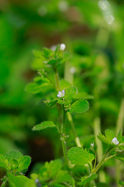 Veronica hederifolia- Ivy-leaved Speedwell.