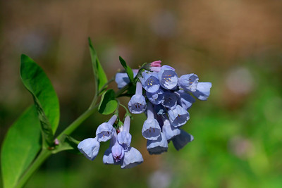 Mertensia virginica- Virginia Bluebells