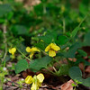 Viola pubescens- Downy Yellow Violet