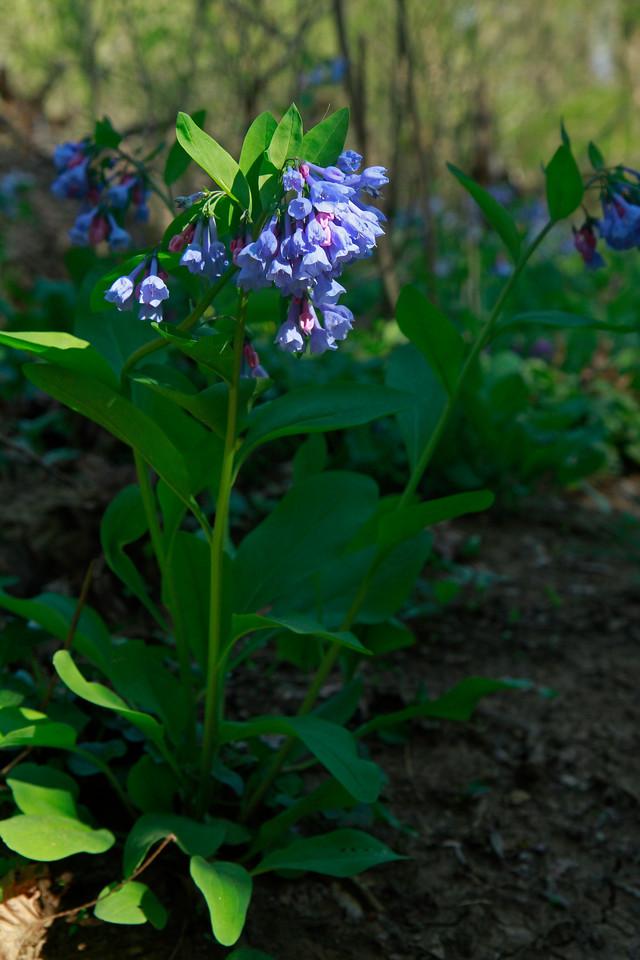 Mertensia virginica- Virginia Bluebells