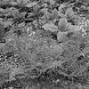 Athyrium felix-femina- Lady Fern