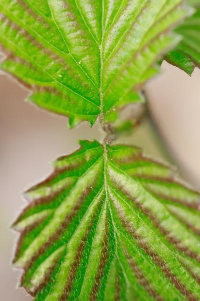Viburnum dentatum- Arrowwood Viburnum