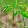 Uvularia sessilifolia- Bellwort
