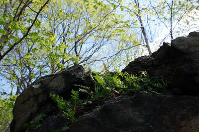 Polypodium virginianum- Rock Polypody
