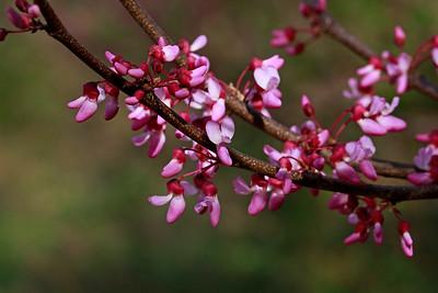 Cercis canadensis-Eastern Redbud