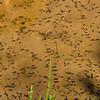 A few tadpoles