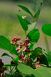 Apios americana- Groundnut