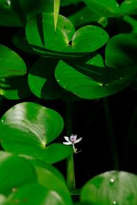 Heteranthera multiflora- Bouquet Mud Plantain