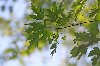 Acer Saccharinum- Silver Maple