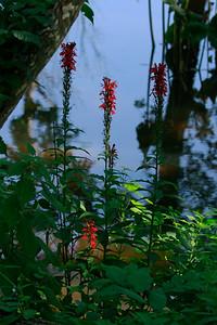 Lobelia cardinalis- Cardinal Flower