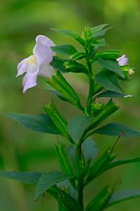 Mimulus alatus- Winged Monkeyflower