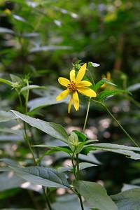 Helianthus sp. Perennial Sunflower