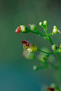 Scrophularia marilandica- Late Figwort