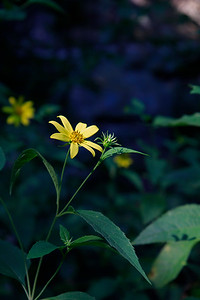 Helianthus sp.